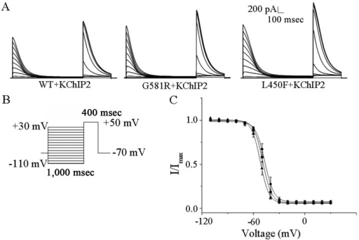 Effects of G581R and L450F on the steady-state inactivation kinetics of KV4.3/KChIP2-encoded K+ currents. (A) Currents showing steady-state inactivation curves recorded from KV4.3-WT, KV4.3-G581R and KV4.3-L450F with KChIP2. (B) The stimulation protocol used for steady-state inactivation. (C) Mean ± standard error (SE) normalized current amplitudes were plotted as a function of conditioning potential for the •, KV4.3-WT/KCHIP2; ■, KV4.3-G581R/KChIP2; and ▲, KV4.3F450F/KChIP2 encoded K+ currents. The solid lines represent the best (single) Boltzmann fits to the mean ± SE normalized data. G581R and L450F have no effects on the KV4.3/KChIP2-encoded channel voltage dependence of steady-state inactivation. The error bars represent standard error of the mean for ≥7 cells from each group.