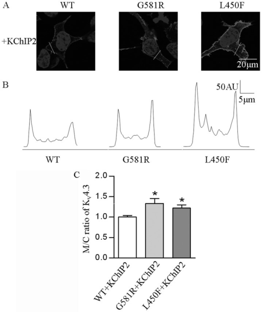 Effects of G581R and L450F on membrane localization of KV4.3 channel protein. (A) Representative confocal images of HEK-293 cells transfected with KV4.3-WT, KV4.3-G581R and KV4.3-L450F in the presence of KChIP2. (B) An intensity profile from a scan along the indicated line is shown below each image. (C) In the presence of KChIP2, confocal image analysis showed that G581R (n=10) and L450F (n=15) significantly (*P<0.05) increased the cell membrane to cytoplasmic intensity ratios of KV4.3 channel protein, compared with WT (n=13) ratio. The error bars represent standard error of the mean for the indicated number of cells from each group. AU, artbitrary units.