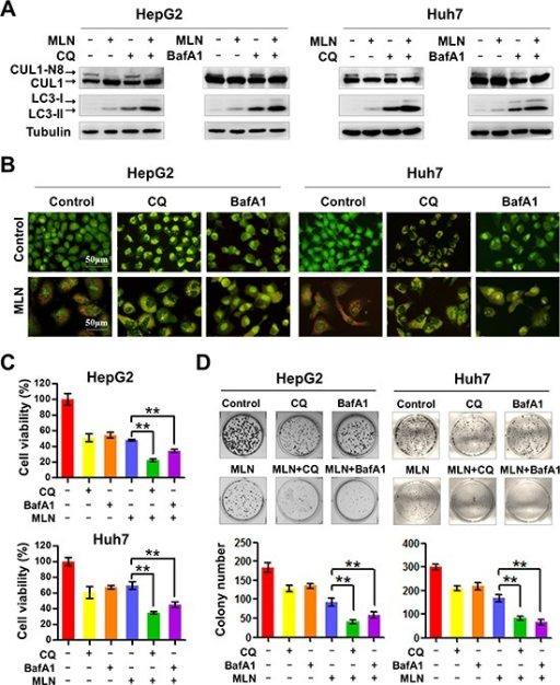 Aging | Dual inhibition of DNA-PKcs and mTOR by CC-115