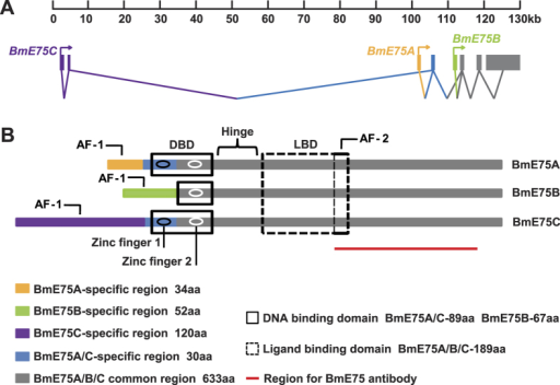 Three BmE75 isoforms.(A) Genomic location of the three transcripts of BmE75. Gray boxes denote common 3′ exons. Purple, yellow and green boxes denote specific 5′ exons of BmE75A, BmE75B and BmE75C, respectively. Diagram of BmE75A, BmE75B and BmE75C protein structures. Different colors denote protein domains correspond to the product of exons in (A). DBD, DNA binding domon; LBD, ligand binding domon; AF-1, activitiaon function-1; AF-2, activitiaon function-2. The red line shows the region to generate the BmE75 antibody.