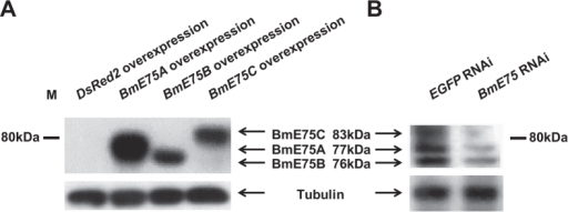 Verification of the BmE75 antibody.(A)Baculovirus-mediated overexpression of BmE75A, BmE75B and BmE75C in Sf9 cells. DsRed2 overexpression was used as a control. After generation of P2 virus, the Sf9 cells were collected and prepared for Western blotting using the BmE75 antibody. (A) dsRNA targeting a common region of all three BmE75 isoforms was injected into Bombyx larvae at the initiation of the wandering stage, the fat body was isolated 24 hours after RNAi and prepared for Western blotting using the BmE75 antibody. EGFP dsRNA was used as a control.
