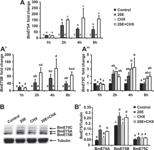 "Responses of BmE75 isoforms to 20E in BmN cells.(A-A"") Responses of mRNA levels of BmE75A (A), BmE75B (A') and BmE75C (A"") to 2 μM 20E or/and 10 μg/ml cycloheximide (CHX) in BmN cells. (B-B') Response of protein levels of BmE75A, BmE75B and BmE75C to 20E or/and CHX in BmN cells 2 hours after treatment. (B') Quantification of BmE75A, BmE75B and BmE75C protein levels in (B)."