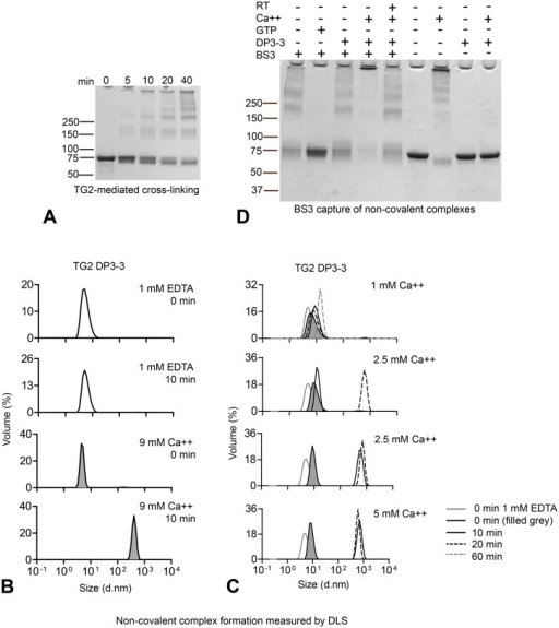 Homotypic TG2 association is conformation dependent(A) TG2 (2.4 μM) self-crosslinking over time occurs via initial formation of dimer and trimer as observed after 5 and 10 min. (B) Inactive, inhibitor bound TG2 produced in E. coli (TG2-DP3-3) was incubated at 37°C in the presence of 1 mM EDTA or 9 mM CaCl2 and aggregation was measured by DLS. The graphs display volume percentage (Y axis) and size as diameter (d. nm) on the X-axis. Incubation with 9 mM CaCl2 at 37°C results in aggregation formation already after 10 min. (C) Titration of CaCl2 was performed at 37°C and non-covalent complex formation was compared at different time-points: 0 min (black line, grey fill), 10 min (black solid line) and 20 min (black dotted line). For 1 mM CaCl2, 60 min incubation is also shown (grey dotted line). The solid grey line shows TG2-DP3-3 incubated in 1 mM EDTA at time 0 min for comparison. Two datasets from the same experiment are shown for 2.5 mM CaCl2 as variation was observed in the degree of high molecular weight multimer formation for this CaCl2 concentration. (D) Capture of non-covalent TG2-TG2 associations using BS3 cross-linking reagent. TG2 was incubated in the absence of effectors or together with 5 mM CaCl2 or 1 mM GTP for 30 min at 37°C or, where indicated, for 30 min at room temperature (RT) before addition of BS3. To avoid enzymatic self-crosslinking in the presence of Ca2+ the enzyme was pretreated with the active-site inhibitor DP3-3. Incubation of TG2-DP3-3 with CaCl2 at 37°C followed by BS3 treatment results in the formation of large complexes that do not migrate through the gel.