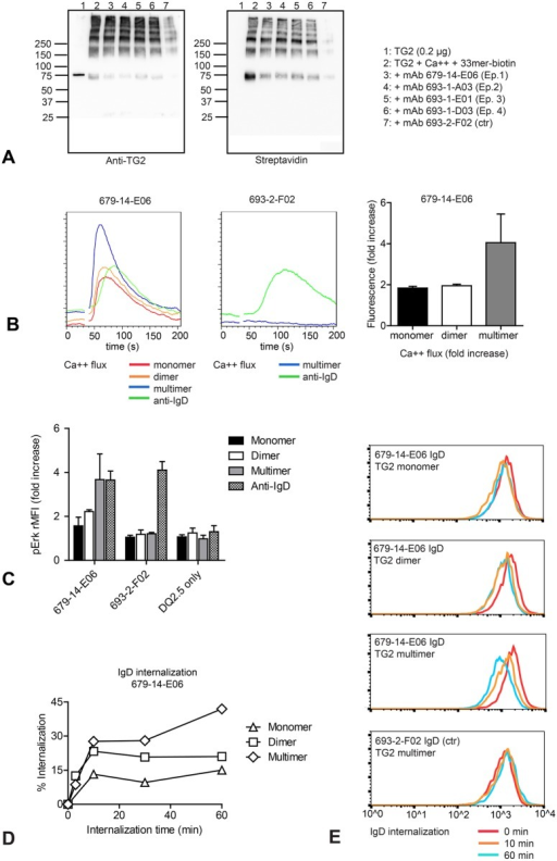 TG2 multimers are superior to TG2 monomer in activation of TG2-specific A20 B cells(A) Celiac TG2-specific monoconal antibodies are able to bind TG2-gluten multimer complexes. TG2 crosslinked in the presence of biotin-33mer peptide was immunoprecipitated using TG2-specific monoclonal antibodies representing all four celiac epitopes, or using a non TG2-specific monoclonal antibody (693-2-F02). TG2 was detected with mouse monoclonal antibody CUB7402 and TG2-bound peptide was detected with HRP-conjugated streptavidin. (B) Intracellular Ca2+ flux was compared following stimulation of transduced A20 B cells expressing HLA-DQ2.5 and TG2-specific (679-14-E06) or non TG2-specific (693-2-F02) IgD BCR with size-separated TG2 complexes or bivalent mouse anti-human IgD antibody. TG2 multimers were superior to monomer and dimers. Calcium flux induced by TG2 was BCR dependent and not observed in control cells. (C) A20 cells expressing TG2-specific (679-14-E06), non TG2-specific (693-2-F02) BCR or only HLA-DQ2.5 were incubated with complexes of TG2 and FITC-labeled 33mer peptide or with anti-human IgD antibody followed by staining for intracellular phoshorylated Erk (pErk). ERK phosphorylation was BCR-dependent and was not observed in A20 cells expressing only HLA-DQ2.5. (D, E) A20 cells expressing HLA-DQ2.5 and TG2-specific (679-14-E06) or non TG2-specific (693-2-F02) IgD BCR were incubated on ice with complexes of TG2 followed by incubation at 37°C. BCR internalization was assessed by flow cytometry staining for surface IgD. Columns in (B) show the means of triplicates from the second experiment (+SD), columns in (D) show the means of two independent experiments (+SD).