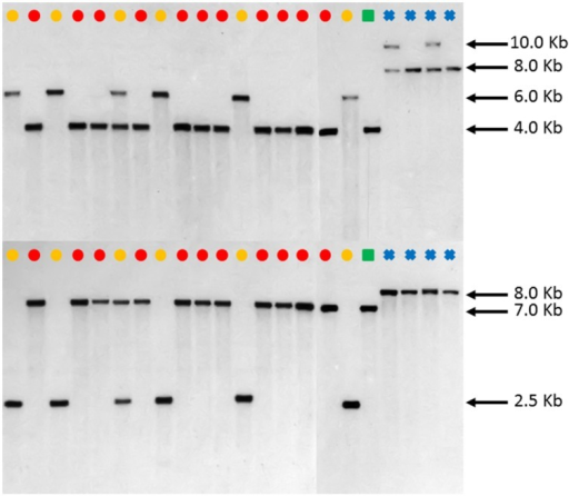Southern blot FAD2-1 digestion radiographs (top using enzyme BglII, bottom using enzyme EcoRV). Samples are in order according to their listing in Table 1 starting with PI 209295 and ending with PI 426488. , C. tinctorius group A; , C. tinctorius group B; , C. palaestinus; , C. oxyacantha.