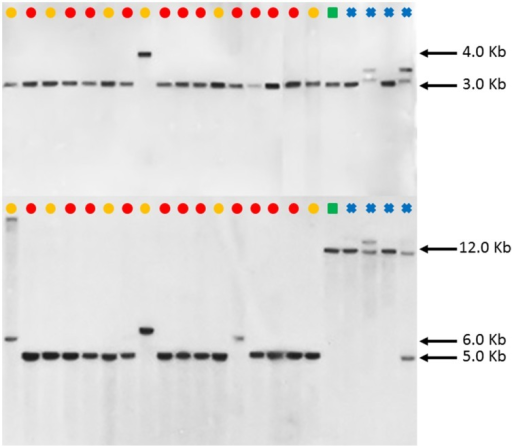 Southern blot FAD2-2 digestion radiographs (top using enzyme BglII, bottom using enzyme HindIII). Samples are in order according to their listing in Table 1 starting with PI 209295 and ending with PI 426488. , C. tinctorius group A; , C. tinctorius group B; , C. palaestinus; , C. oxyacantha.