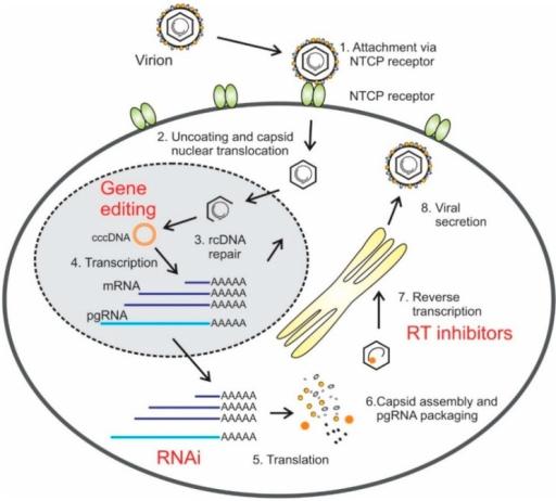 Diagram Of Hepatitis B Virus Hbv Replication Cycle A Open I