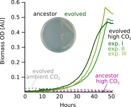 Growth without Xylose Is Dependent on CO2 AvailabilityIn contrast to the ancestral strain, evolved clones isolated from all three chemostat experiments were able to grow in minimal media, supplemented solely with pyruvate (doubling time of ≈6 hr). In all cases, growth required elevated CO2 conditions (pCO2 = 0.1 atm) and no growth was detected under ambient atmosphere. Similarly, evolved clones, but not the ancestral strain, were able to form colonies on minimal media agar plates when supplemented with pyruvate under a high CO2 atmosphere (inset).See also Figure S6.