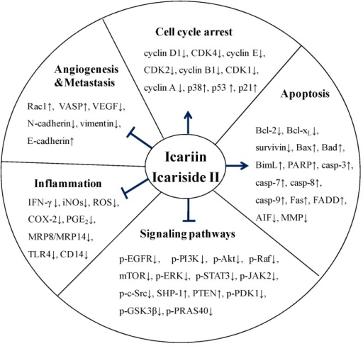 Overview of the anti-cancer effects of icariin and icariside II. Icariin and icariside II stimulate the cell cycle arrest via upregulation of p38, p53, and p21. Icariin and icariside II are involved in the induction of apoptosis and inhibit tumor angiogenesis and metastasis via suppression of multiple signaling pathways. They also have anti-inflammatory effects via downregulation of several factors, such as IFN-γ, iNOs, and COX-2, (← activation; ⊥ inhibition; ↑, up-regulation; ↓, down-regulation).