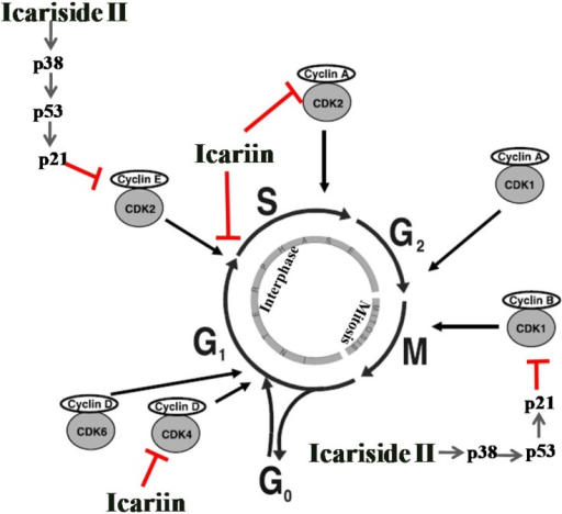 The cell cycle arrest induced by icariin and icariside II. Icariin and icariside II stimulate cell cycle arrest via suppression of the CDKs and cyclins at different stages, (← activation; ⊥ inhibition).