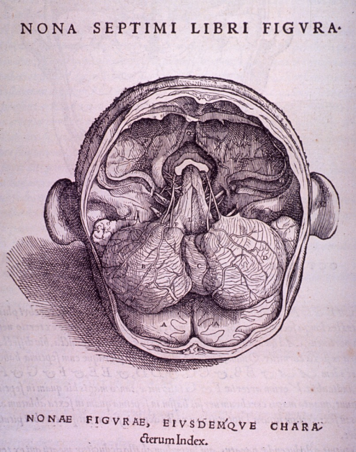 <p>The cerebellum and spinal cord looking at the base of the skull.</p>