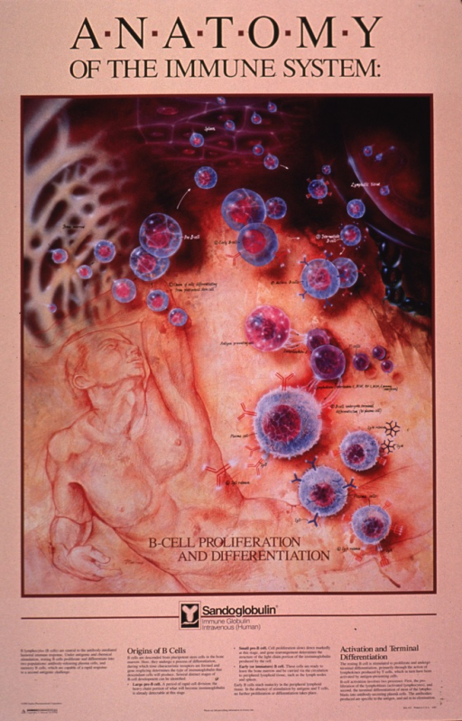 <p>Predominantly peach poster with black and white lettering.  Initial title phrase at top of poster.  Visual image is a series of illustrations, most of which depict the development of b cells into plasma cells secreting antibodies.  An additional illustration features a line drawing of a reclining man.  Remaining title phrase at bottom of illustrations.  Lengthy caption explains illustrations in detail.  Publisher information in lower left corner.</p>
