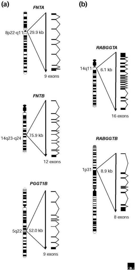 Gene structures and chromosomal locations of human protein prenyltransferase subunit genes. The chromosome diagrams and the locations of the genes on the cytogenetic map are according to the NCBI MapViewer [67]. The sizes of the genes are indicated but are not drawn to scale. (a) Genes encoding CaaX protein prenyltransferases are relatively long; (b) genes encoding non-CaaX protein prenyltransferases are much shorter.