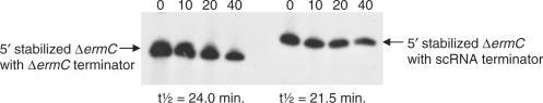 Northern blot analysis of decay of stable ΔermC derivative (left) and stable ΔermC derivative with scRNA terminator sequence (right). Times (minutes) after rifampicin addition are indicated above each lane. The replacement of the ΔermC terminator with the scRNA terminator results in an increase in size of ∼15 nt. The half-lives for the two RNAs are shown below the blot (average of three experiments).