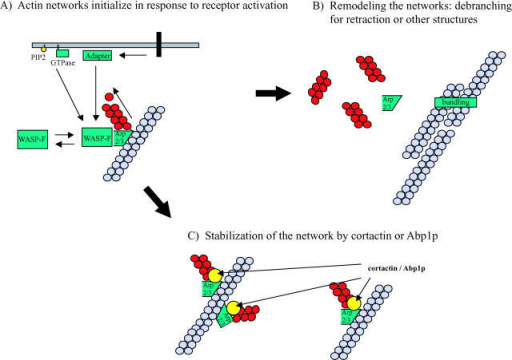 Model depicting possible role of cortactin and Abp1p in the stabilization of actin networks during cell motility or membrane trafficking. (A) Events at the plasma membrane including receptor activation, small GTPase activation, and interaction with acidic phospholipids such as phosphatidylinositol 4,5-bisphosphate (PIP2) are thought to bring about the activation of WASP family proteins. Once active, a WASP family protein transiently binds to and activates the Arp2/3 complex. The Arp2/3 complex becomes stably incorporated into an actin filament branch, which elongates until capping protein blocks the polymerization at the barbed end. (B) For networks that will be remodelled, debranching may facilitate the formation of parallel filament bundles (by α-actinin, fascin, or another bundling protein) or depolymerization of filaments during filopodia formation or retraction of new pseudopodia. (C) If a branched network is to be maintained longer term, the activities of cortactin and Abp1p may be to stabilize branches and provide additional rigidity to the network.