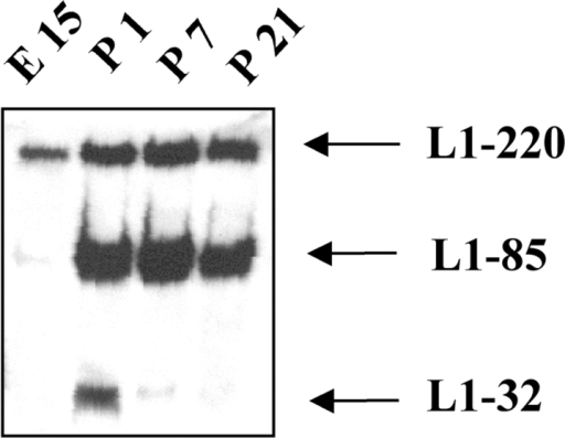 L1-32 can be detected in the developing mouse brain. Mouse brains of different ages were homogenized in lysis buffer, and equal amounts of protein were analyzed by SDS-PAGE and Western blotting using pcytL1 followed by peroxidase-conjugated secondary antibodies and ECL detection.