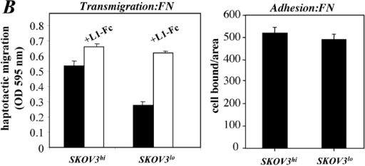 The level of L1 expression affects cell migration. SKOV3 cell variants differing in the expression levels of L1 (SKOV3hi or SKOV3lo) were established by repeated FACS sorting. (A) Cytofluorographic staining of SKOV3hi or SKOV3lo cells with mAb UJ 127.11. (B) Analysis of cell adhesion and haptotactic cell migration of SKOV3hi or SKOV3lo cells. The assays were done as described in Figs. 5 E and 7 C, respectively. (C) Cells were preincubated with the indicated mAbs at 10 mg/ml and transmigration on FN was tested as described in Fig. 6 A. (D) Cells were preincubated with the indicated mAbs at 10 mg/ml and transmigration on laminin was tested as described in Fig. 6 A.
