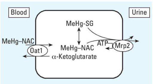 Potential mechanism of NAC-stimulated renal excretion of MeHg. The MeHg–NAC complex spontaneously formed in the blood is a substrate for Oat1, an α-ketoglutarate–coupled anion exchanger at the basolateral membrane of proximal tubule cells. Once inside the cell, some of the MeHg will redistribute to other intracellular ligands, including the formation of the glutathione complex (MeHg–SG). The MeHg–NAC and MeHg–SG complexes are both substrates for Mrp2, an ATP-dependent transporter localized to the brush border membrane, which mediates efflux of these complexes from the renal tubular cells into the renal tubular lumen for excretion via the urine. Modified from Madejczyk et al. (2007).
