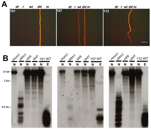 Release of silencing of the DsRed-LacI gene and loss of DNA methylation from lac operator repeats in a ddm1 mutant. A. DsRed fluorescence in roots of seedlings doubly homozygous for a tagged locus (101, 107, 112) and an epigenetic mutation: drd1 (dr), rdr6 (r), wild type (wt), ddm1 (dd), mom1 (m). Increased fluorescence is observed only in the ddm1 mutant. The bar indicates 2 mm. B. DNA methylation analysis of lac operator repeats. The lac operator repeat array is ~9.2 kb (256 copies of a 24-bp lacO monomer plus a 12-bp linker sequence) [8]. The lac operator repeat arrays can potentially be cut into 315 bp fragments by the restriction enzymes EcoRI (E) and NarI (N) [15]. Whereas the former is insensitive to cytosine methylation, NarI will not cleave if the CG in its recognition site (GGCGCC) is methylated (compare N versus E lanes in the three WT panels). Retention of the higher band (mom1, rdr6 and drd1 lanes) after NarI digestion signifies wild type levels of CG methylation; production of a ladder of smaller bands (ddm1 lanes) indicates loss of CG methylation. Size markers are indicated to the left. Data are shown for three tagged lines (101, 107, 112) into which we successfully introduced all four mutations (drd1, ddm1, sgs2, mom1). For the other two tagged lines (26, 79), we were unable to generate homozygous mutants for all four of the epigenetic factors. However, we did successfully introgress the ddm1 mutation into these lines, which resulted in loss of CG methylation from the lac operator repeats in ddm1 (Additional file 1).