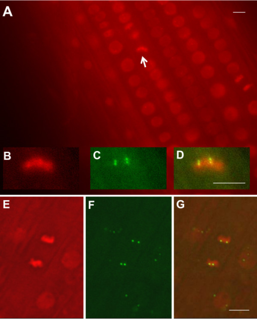Visualization of fluorescent tagged sites on mitotic chromosomes. In the division zone of the root, chromosomes are dual labelled with H2B-mRed and EGFP-LacI (both genes are under control of the RPS5 promoter). (A) Mitotic chromosomes at the metaphase plate are viewed as bright red bars (white arrow; shown enlarged in B) with EGFP-tagged sites visible as two clustered pairs of green fluorescent dots (C; merged image in D). (E) Mitotic chromosomes at anaphase with two pairs of EGFP-tagged sites (F; merged image in G). Interphase nuclei are dull red ovals (A, E, G). In the merged image (G), three neighbouring interphase nuclei with superimposed green fluorescent dots can be seen. All bars indicate 5 μm. Homozygous tagged line 112 was used for A-D; homozygous tagged line 26 was used for E-G. In both cases, the EGFP-LacI fusion protein was supplied in trans.