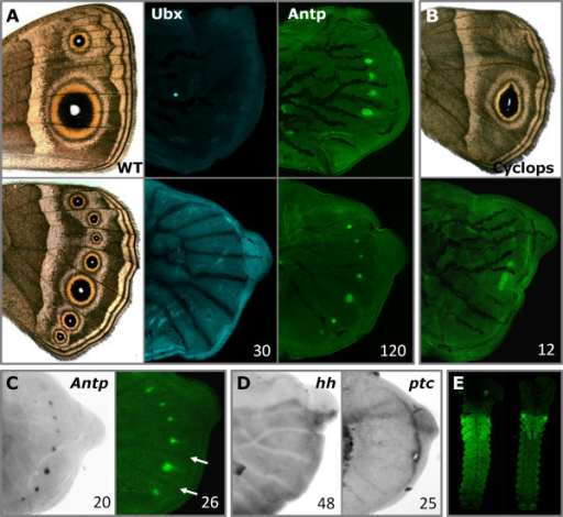 Gene expression in the eyespot model Bicyclus anynana (Nymphalidae, Satyrinae). (A) Fore-(top) and hindwing (bottom) of 'wild-type' adult and larval wing discs visualized for Ubx (blue) and Antp (green). Ubx is detected throughout the hindwing, but not in the forewing (as is characteristic of insects), and is not associated with any colour pattern element (the bright spot visible in the forewing is an artefact). Antp is detected in the presumptive eyespot organizers in both fore- and hindwing. (B) Adult (top) and larval (bottom) hindwing of Cyclops venation mutant with altered eyespot number and shape [28]: Antp is upregulated in a single elongated organizer, matching the morphology of the adult eyespot centre. (C) Larval hindwings stained for Antp mRNA (left) and protein (right). Antp is detected in eyespot centres shortly after the last larval molt, prior to the extension of trachea into the vein lacunae (arrows) and before the upregulation of other organizer proteins (co-stainings of Antp, N and Dll in early wings are shown in Additional File 1). (D) Larval hindwings stained for hh and ptc mRNA. Absence of both transcripts in B. anynana eyespot fields (in contrast to J. coenia [33]) reveals genetic divergence in organizer determination. (E) Immunostainings in embryos of B. anynana (left) and J. coenia (right) at 30 to 40% development [63] show the typical pattern of Antp in thorax and abdomen. Proteins are shown in colours, mRNA in gray; numbers indicate individuals examined.