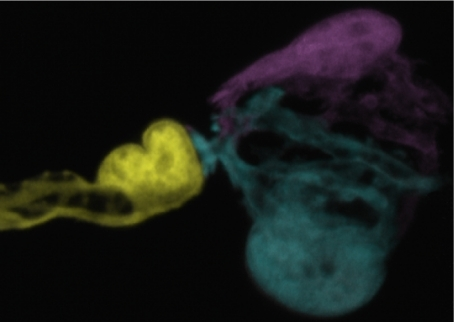 Sequential photobleaching of Schwann cells expressing GFP allows three cells (colored yellow, cyan, and magenta) to be delineated at an adult neuromuscular junction.