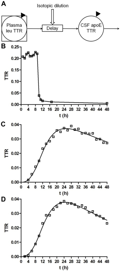"CNS kinetic modeling curves.A, CNS-ApoE compartmental model was used to describe whole-system CNS-ApoE turnover kinetics. The model is based on data from plasma leucine and CSF-ApoE TTRs (solid triangles). The plasma leucine TTR time course for a given subject is used as a ""forcing function"" to define the tracer availability for ApoE synthesis. The CNS-ApoE system comprises a delay element and a compartment that turns over, and accounts for isotopic dilution of the plasma leucine. The model has 3 adjustable parameters: the shape of the ApoE TTR time course is modified by adjusting the delay time and the rate constant for ApoE turnover, and the magnitude of the ApoE TTR is scaled by varying the degree of isotopic dilution. B–D, A typical compartmental model analysis from a single, representative, ApoE3/3 subject. B, Plasma leucine TTR remains elevated and does not return to baseline enrichment immediately after the tracer infusion is halted. C–D, The ApoE TTR time course exhibits a long time delay and sigmoid rise to a peak enrichment which is well described by the model. C, ApoE3 peptide LAVYQAGAR; D, ApoE3 peptide LGADMEDVcGR. Solid line represents model fit to the data."