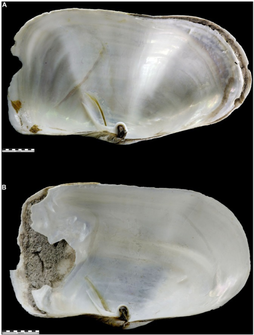 investigating phenotypic plasticity in shell morphology A major line of work in ecological and evolutionary research aims at investigating relationships  or in phenotypic plasticity  plasticity, morphology and the .