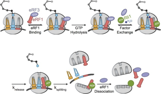 Model of the roles of eRF1 and eRF3 in eukaryotic termination. A simplified model for eukaryotic termination, emphasizing the steps at which eRF1 may be influenced by eRF3. krelease and ksplitting refer to the processes of peptide release and subunit dissociation, respectively. These two steps could be directly measured in our kinetic analysis; binding steps (indicated with equilibria) have not been directly monitored here.