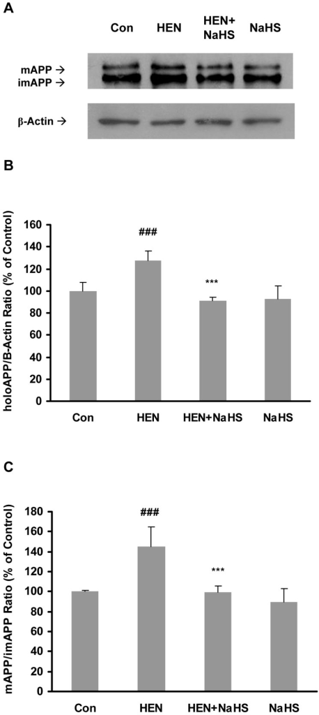 Effect of NaHS on production and maturation of APP.Representative gel (A) and quantitative analysis (B–C) showing the effects of NaHS (100 µM, 12 hours) on HENECA (100 nM, 24 hours) stimulated production (B) and maturation (C) of APP. The cell lysates were analysed by western blot technique with antibody against N-terminus of APP or β-actin. The extent of maturation of APP is shown as the ratio between mAPP to imAPP. mAPP and imAPP are represented by upper and lower bands in a blot respectively. β-actin was used as a loading control. Data are given as means ± S.E.M, n = 4. ###p<0.001 vs Con group; ***p<0.001 vs HEN group. Con, control; HEN, HENECA.