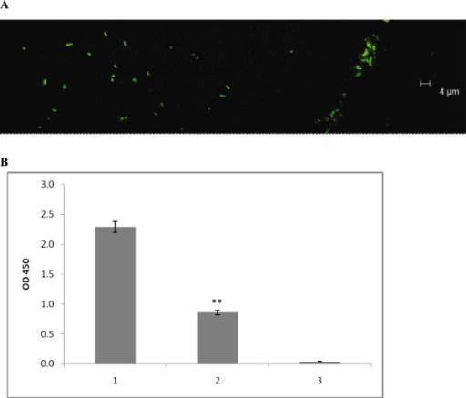Interaction of E. coli cells, containing C. jejuni glycosylation gene cluster, with SBA lectin. (A) Confocal microscopy of E. coli XL2/pPGL1 after treatment with fluorescently labelled SBA. No fluorescence was observed for E. coli XL2 control (data are not shown). (B) Attachment of E. coli XL2/pPGL1 to immobilized SBA lectin (1) is inhibited by GalNAc at 5 mM (2). No binding of the recipient strain E. coli XL2 was detected (3).