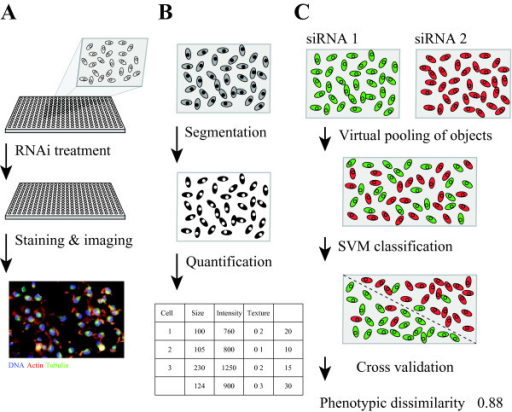 Workflow for image-based screening, image quantification and phenotypic dissimilarity measure with SVM classification accuracy.A) Cells are seeded into 384-well plates and treated with siRNA by reverse transfection. After incubation for 48 hours, cells are fixed, permeabilized and immunostained for DNA, tubulin and actin and imaged with an automated microscope. B) Cell images are processed with nucleus and cell segmentation using the R packages EBImage and imageHTS. Each cell is represented by a 46 image-based feature vector. Every treatment generates a data matrix X[m,n], where m is the number of cells and n is the number of features. C) For each pair of RNAi treatments, SVM classification is performed on the virtually pooled cell population based on cell features. Classification accuracy is estimated by cross validation, and defined as the phenotypic dissimilarity between treatments.