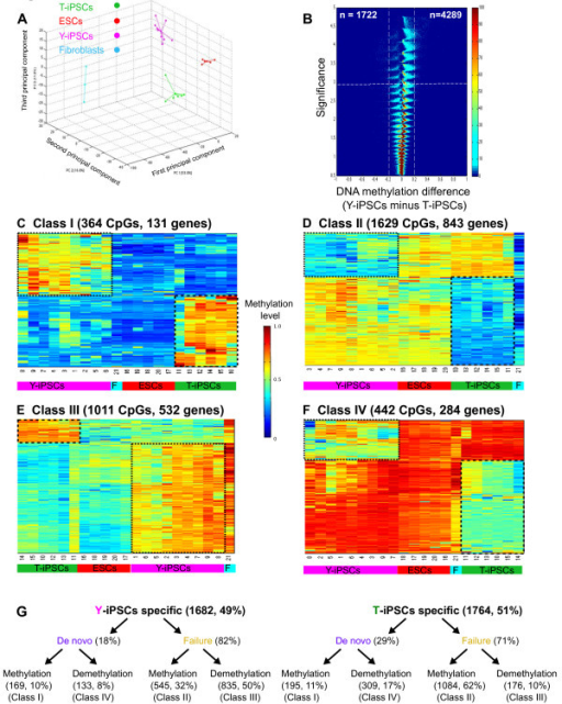 DNA methylation aberrations that are found only in Y- or T-iPSCs. A. Principal Component Analysis showing that methylomes of Y-iPSCs, T-iPSCs and ESCs segregate into separate groups. B. Volcano plots of all CpG sites analyzed. The beta value difference in DNA methylation between Y-iPSCs and T-iPSCs is plotted on the x-axis, and the p-value for a FDR-corrected Wilcoxon signed-rank test of differences between Y-iPSCs and T-iPSCs (shown on − log10 scale) is plotted on the y-axis. CpGs that are significantly different between the 2 subtypes are shown on the upper left corner (significantly hypermethylated in T-iPSCs) and upper right corner (significantly hypermethylated in Y-iPSCs). C. CpGs that are hypomethylated in fibroblasts but are aberrantly methylated in iPSCs. D. CpGs that are hypomethylated in fibroblasts but fail to acquire methylation in iPSCs. E. CpGs that are hypermethylated in fibroblasts but aberrantly demethylated. F. CpGs that hypermethylated in fibroblasts but aberrantly gets demethylated in iPSCs. G. Summary of the classes of DNA methylation aberrations found only in Y-iPSCs (left) or T-iPSCs (right) but not both.