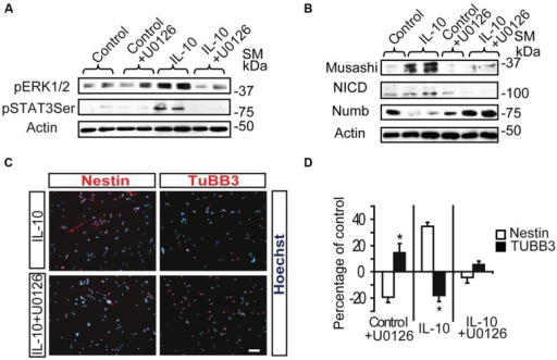 ERK1/2 acts upstream of STAT3 and mediates IL-10 actions on SVZ progenitors. (A) MAPK pathway inhibition by U0126 (25 μM) prevents STAT3Ser727 activation induced by IL-10. Actin was the loading control (n = 4). (B) Western blotting of neural protein expression after U0126 treatment during 48 h. UO126 prevents the up-regulation of Musashi, NICD and Numb induced by IL-10 (n = 4) (C) Pictures of dissociated cultures stain against Nestin and TUBB3 in the presence of IL-10 or IL-10+U0126. MEK inhibitor induced a decrease in the number of progenitors (Nestin+) and increases the number of neuroblasts (TUBB3+). Hoechst (blue) stained all nuclei. (D) Graph summarizes the effect of U0126 on the numbers of Nestin+ and TUBB3+ cells in the control situation and after IL-10 treatment. In control and IL-10-treated cultures U0126 reduced the presence of Nestin+ cells while it increased neuroblast number (TUBB3+). Values are expressed as the percentage of control (n = 5). Scale bar: 30 μm. Data are represented as the mean ± SEM. *P < 0.05.
