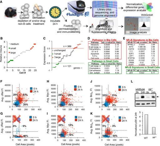 Molecular assays suggest that NF-κB enforces an upstream fate decisionA–L Naïve purified B cells were stimulated with 250 nM CpG for 24 h and analyzed using single-cell RNA sequencing (A top). Five small and five large B cells were captured in a microfluidics chip (B), and their transcriptomes were sequenced to reveal sets of genes typically upregulated in big cells (C, red) or small cells (C, green). Pathway analysis on genes upregulated in large B cells (D, top) and small cells (D, bottom) was performed. (E) Transcription factor motif enrichment analysis on the genes upregulated in large cells (E, top) and small cells (E, bottom) was performed and filtered to show only significantly upregulated (P < 0.05) and known NF-κB target genes or NF-κB itself. NF-κB cRel abundances of purified naïve B cells stimulated with 250 nM CpG for 24 h were obtained by quantifying average fluorescence in fixed B cells stained with anti-cRel antibody conjugated to fluorophore, or anti-BclXL antibody bound to a fluorescent secondary antibody (A bottom). The 0-h average fluorescence was used to determine significant upregulation of NF-κB cRel (F), growth regulator Myc (H), and anti-apoptotic regulator BclXL (J) at 24 h (P < 0.05). Immunoblot for p-S6 (arrow), a downstream target of mTORc1, with anti-tubulin control after 24 h CpG stimulation in WT and cRel-deficient B cells and gel quantification is shown (L). NF-κB cRel-deficient cells were used to approximate the technical noise (G) or dependence of Myc (I), BclXL (K), and mTORc1 (L) on NF-κB cRel. Quadrants in (F–K) indicate fraction of cells at 24 h compared to 0 h. Growth was manually defined as a cell area > 100 pixels to avoid cell selection bias in images.