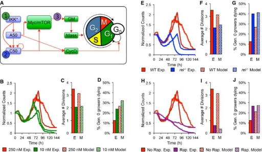 The multi-scale model predicts the effects of low stimulus, cRel knockout, and rapamycin treatmentA After parameterizing the multi-scale model using results from wild-type B cells stimulated with 250 nM CpG (red), we predicted the effects of decreasing IKK duration (green), lack of NF-κB cRel (blue), and decreased protein synthesis (purple) in silico and compared the results to those from analogous time-lapse microscopy experiments where we stimulated with only 10 nM CpG, used cRel deficient cells, or pretreated with 1 ng/ml rapamycin.B–J Side-by-side comparison of modeling and experimental results: total cell counts (B, E, H), average number of divisions (C, F, I), and fraction of growing progenitors that died (D, G, J).