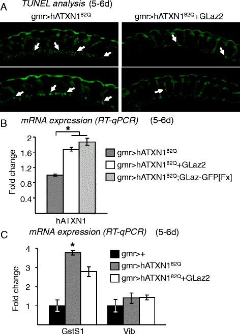 Effects of GLaz over-expression on cell death due to hATXN182Q-dependent degeneration, and on SCA1-modifiers expression. A, TUNEL analysis of apoptotic cell death in paraffin sections of degenerated (gmr > hATXN182Q) and GLaz rescued (gmr > hATXN182Q + GLaz2) retinas. Representative examples of retina sections showing a decreased number of apoptotic nuclei (white arrows) in flies that over-express GLaz. B, hATXN1 mRNA levels in fly heads of the SCA1 model and lines expressing a double dose of GLaz. C, RT-qPCR expression levels of the SCA1 neurodegeneration modifiers GstS1 and Vib. Statistical differences of RT-qPCR data were assayed by Mann–Whitney U-test. *P < 0.05.