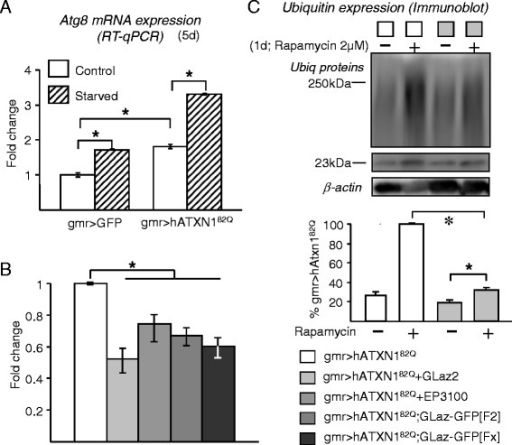 Effects of GLaz over-expression on Atg8a expression and under pharmacological induction of autophagy. A, Pathogenic expression of hATXN182Q and starvation increase autophagic activity, monitored by Atg8a mRNA levels. B, Atg8a expression is decreased by co-expression of GLaz and the hATXN182Q transgene. Statistical differences were assayed by Mann–Whitney U-test. *P < 0.05. C, Levels of ubiquitinated proteins in fly heads, measured by immunoblot after treatment with the autophagy inducer rapamycin. An increase in ubiquitin load is observed when SCA1 model flies are exposed to rapamycin, while a decrease in ubiquitin signal is clear upon GLaz over-expression. Color code applies for blot and graphs in B and C. Statistical differences were assayed by Student's t-test. *P < 0.05.