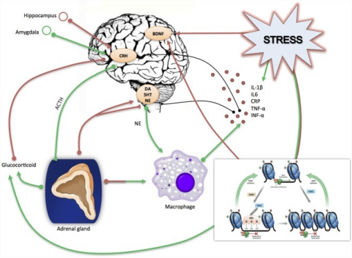 Schematic rappresentation of the direct and indirect effect of stress on inflammation and neuroplasticity related processes. Stress induces directly an immediate release of glucocorticoids and pro-inflammatory cytokines (IL-1β, IL-6, CRP, TNF-α, INF-α); in turn incresead levels of glucocorticoids act on the brain by altering the CRH-ACTH signaling and, in turn, negatively affecting neurogenesis as well as the production of neurotrophic factors, including Brain Derived neurotrophic Factor (BDNF). Similarly, proinflammatory cytokines can negatively affect brain functioning and neurotrophins production and release. Stress can also work indirectly by activating epigenetic mechanisms (methylation, deacetylation, miRNAs), which may act on the same target stress related genes i.e., glucocorticid receptors, cytokines and BDNF. Red arrows indicate a suppressive effect, green arrows a stimulating effect.