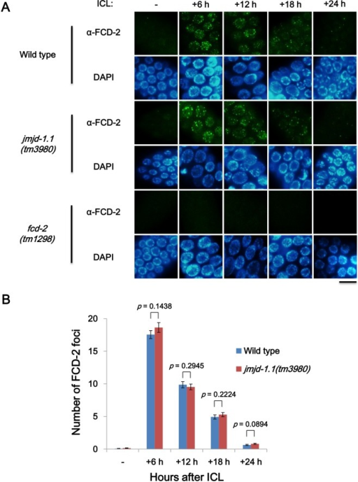 FCD-2 focus formation is unaffected upon ICL induction in mitotic germ cells of jmjd-1.1 worms.L4 stage worms of wild type, jmjd-1.1(tm3980), and fcd-2(tm1298) were exposed to photoactivatable trimethyl psoralen (TMP, 200 μM) for 40 min and then to UVA light (150 J/m2). (A) Gonads were dissected, fixed, and immuno-stained with antibody against FCD-2 (C. elegans FANCD2 homolog) at 6, 12, 18 and 24 h post treatment. FCD-2 foci were observed in germ cells in the mitotically proliferating region of the gonad, and were not present in the negative control strain, fcd-2(tm1298). Scale bar, 10 μm. (B) The focal plane with the maximum number of FCD-2 foci was chosen for each nucleus of the germ cells, and the numbers of FCD-2 foci per focal plane were compared in wild-type and jmjd-1.1 worms at various time points (n = 100 for each bar). p values were obtained by Student's t-test.