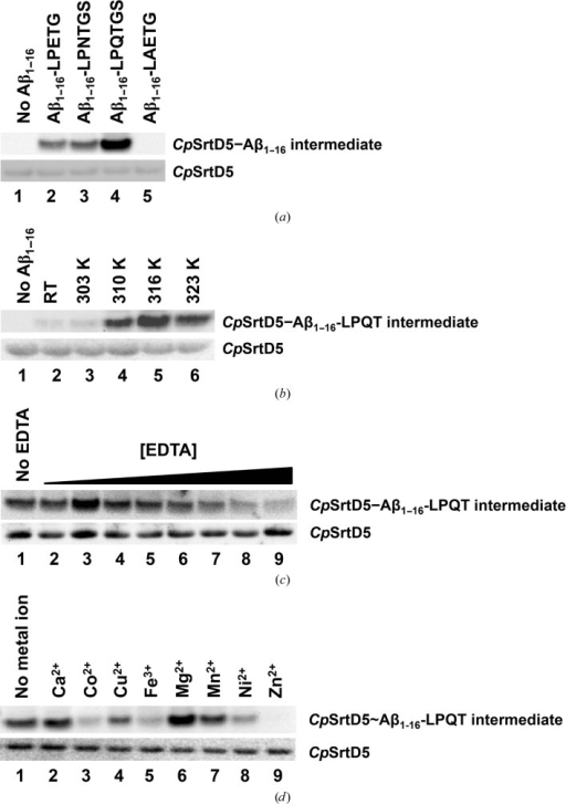 CpSrtD recognizes and cleaves the LPQTGS sorting motif in vitro. (a) Recombinant CpSrtD was incubated in the absence (lane 1) or presence of Aβ1–16 peptides fused to LPETG (lane 2), LPNTGS (lane 3), LPQTGS (lane 4) or LAETG (lane 5) sorting motifs. (b) Catalytic efficiency of recombinant CpSrtD towards Aβ1–16-LPQTGS substrate was measured at room temperature (RT, lane 2), 303 K (lane 3), 310 K (lane 4), 316 K (lane 5) or 323 K (lane 6). (c) CpSrtD was pre-incubated in the absence (lane 1) or presence of EDTA at a concentration of 1 mM (lane 2), 2 mM (lane 3), 5 mM (lane 4), 10 mM (lane 5), 20 mM (lane 6), 50 mM (lane 7), 100 mM (lane 8) or 200 mM (lane 9). EDTA-treated CpSrtD was then incubated with Aβ1–16-LPQTGS and the ability to form the thioacyl intermediate was measured. (d) EDTA-treated (100 mM) CpSrtD was incubated with Aβ1–16-LPQTGS in the absence of metal ions (lane 1) or the presence of 10 mM Ca2+ (lane 2), Cu2+ (lane 3), Co2+ (lane 4), Fe3+ (lane 5), Mg2+ (lane 6), Mn2+ (lane 7), Ni2+ (lane 8) or Zn2+ (lane 9). The formation of thioacyl intermediate in (a), (b) and (c) was analysed by Western blot using mouse α-­Aβ (WO2) antibody (top panels), and equal loading was assessed using mouse α-His5 antibody (bottom panels).