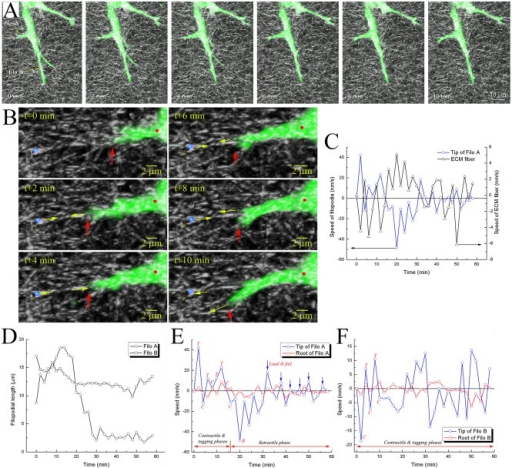 Experimental observations of filopodia state changes during penetration.A) 3-D confocal images showing filopodia protrusive, tugging, and contractile motions in GFP-transfected HUVECs, and remodeling of collagen fiber network at time points of 0, 2, 4, 6, 8 and 10 minutes. B) 3D collapsed images showing the crawling behavior of filopodial tip at time points 0, 2, 4, 6, 8 and 10 minutes. Blue sphere indicates a monitored location on the ECM, which was shown to be mechanically linked to the filopodial tip. Yellow arrows indicate directions of displacements of the blue sphere and the filopodial tip. Red arrows and red dots indicate filopodial tips and roots, respectively. C) Graph showing temporal variations of speeds at the tip of filopodium (Filo A in A) and blue sphere in B). D) Graphs showing filopodial length changes in Filo A and B over time. Graphs in E) and F) showing temporal variations in speedsn at both tip and root of the two filopodia: Filo A in E) and Filo B F). Note that plus and minus signs represent forward and backward movements of filopodium, respectively, and blue arrows in E) indicate fast oscillatory 'load-and-fail' traction dynamics during the retractile phase. T, C, and R in E) and F) indicate tugging, contractile, and retractile phases, respectively.