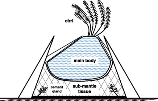 Simplified schematic of adult acorn barnacle cross sect | Open-i