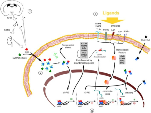 Global scheme of glucocorticoid signaling and transcriptional mechanism during inflammation. 1. Hypothalamus–pituitary–adrenal (HPA) signaling cascade upon stressors. CRH, corticotrophin-releasing hormone; ACTH, adrenocorticotropic hormone; GCs, glucocorticoids. 2. The endogenous/synthetic GCs bind to glucocorticoid receptor (GR) and can act in two ways: non-genomic effects in cytoplasm or translocation into the nucleus, resulting in the modulation of the transcriptional responses (for example, the transactivation of anti-inflammatory genes). Alternatively, selective glucocorticoid receptor agonists (SEGRAs) can act majorly through tethering mechanism. 3. In the context of an inflammatory scenario, cytokines, DAMPS, and PAMPs bind to their respective receptors and activate pro-inflammatory transcription factors (TFs). These TFs translocate to the nucleus and increases the activity at pro-inflammatory genes promoters by GC–GR complex (composite sites, tethering, or compete for DNA-binding sites – not shown). 4. The four main transcriptional mechanisms involved in the inflammatory response: sGRE, nGRE, binding to composite sites and tethering. In the first two modes (sGRE and nGRE), the GC–GR complex modulates the transcription in a GRE-dependent manner activating or repressing genes, if accessible. In the last two modes (composite site and tethering), the GC–GR complex is recruited to GRE sites modulating gene expression in conjunction with TFs (composite site) or interacting directly with TFs (tethering) or coactivators (not shown). Please refer to main text for more details.