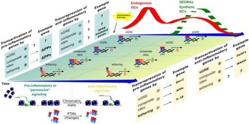 Time-dependent evolution of inflammatory responses as orchestrated by multiple GR-dependent mechanism. At the first moment, after an inflammatory stimulus, acute-phase proteins (APP) and other genes are transcribed through transactivation, contributing to a pro-inflammatory response that correlates with a peak of endogenous GCs levels (red wave); examples of the transcriptional modalities are still poorly described. In a second moment, a subsequent endogenous GCs wave, or administration of synthetic GCs and SEGRAs (green dashed wave), correlates with the prevalence of anti-inflammatory response governed by transactivation (anti-inflammatory genes)/transrepression (pro-inflammatory genes) mechanisms. A decreased expression of pro-inflammatory genes, for instance, IL-1β (tethering) and possible C1q (nGRE), reinforce the anti-inflammatory modality ruled by sGRE mode (DUSP1, GILZ, etc.). No positive tethering mechanism was described for anti-inflammatory genes. In contrast, IRAK-M induction through composite site with NF-κB has been reported (see main text). The chromatin remodeling and different PTMs are present in both phase of inflammatory response, offering the relevant protein interactions and DNA-binding sites for GRs/TFs.
