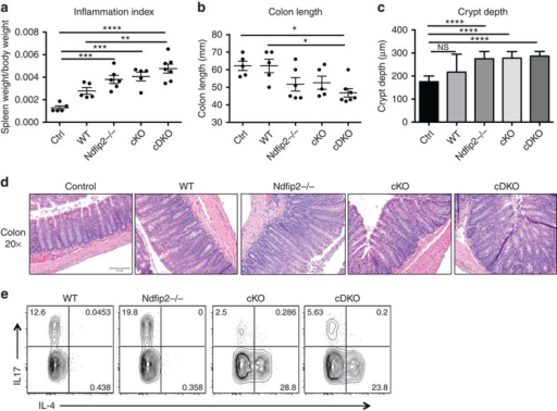 Ndfip1/Ndfip2-deficient CD4+ T cells cause increased colitis.(a–e) 0.5 × 106 sorted naive CD4+ T cells from WT, Ndfip2−/−, cKO and cDKO mice were transferred into 6-week-old Rag1−/− recipients. Mice were weighed twice weekly and killed 6 weeks after transfer when 20% weight loss was observed in multiple mice. Spleen weight and body weight were compared to generate an inflammation index (a) and colons were measured (b). H&E-stained sections of the distal colon were imaged on the × 20 objective, and crypt depth was quantified (c,d). Splenocytes were stained for intracellular IL-4 and IL-17 after ex vivo stimulation with PMA/ionomycin in the presence of BFA, and analysed by flow cytometry (e). Previously gated on live singlets, CD4+, dump gate-. Quantifications shown ±s.e.m. n=5–7 mice. Control (ctrl) mice did not receive T cells. P values calculated by ordinary one-way ANOVA with Holm–Sidak test for multiple comparisons: *P<0.05, **P<0.01, ***P<0.001, ****P<0.0001.