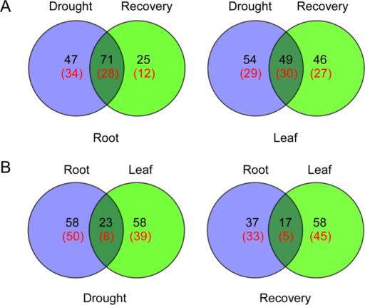 Venn diagram analysis of DAP spots in Bd21 roots and leaves under drought stress and recovery.(A) Venn diagram analysis of DAP spots in roots and leaves; (B) Venn diagram analysis of DAP spots under under drought stress and recovery. The red number represents the number of unique protein species identified.