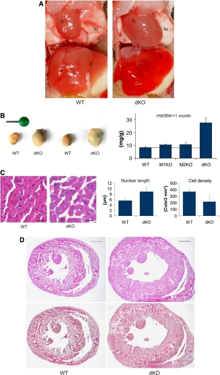 Synergistic control of heart muscle mass and cardiac myocyte size by MuRF1 and MuRF2. (A) Dissection of 13-day-old MuRF1 and MuRF2-dKO mice revealed grossly enlarged hearts (h), causing caudally lung compression (lu); the liver appears hyperaemic (li). (B) Effect of MuRF1/MuRF2 genotypes on heart weights. Left: hearts isolated from two matched pairs of WT and dKO mice (13 days old). Right: dKO mouse hearts (ventricles only) had 231% (P=0.001) increased HW/BW ratios, whereas weights of MuRF1, MuRF2 KO, and WT hearts did not differ significantly (young mice between d8 and d24; MuRF1: 25.5% increase, P=0.1, MuRF2: 27%, P=0.2, heart ventricles weights, respectively; dKO n=18; MuRF1 KO n=6, MuRF2 KO n=7; WT n=7). (C) Left: hematoxylin/eosin (HE) sections indicated that cardiomyocytes from young dKO hearts were hypertrophic. Scale bar, 20 μm. Right: morphometric comparison of WT and dKO sections nuclei had 59% increased length and cardiomyocytes were also 58% larger/cell density was reduced by 58% (as indicated by the number of cells in 0.2 mm2 large sections). (D) HE (top) and Masson histology (bottom) of WT and dKO hearts indicated concentric-type physiological hypertrophy at month 12, with intact inner and outer circular fiber systems and absence of fibrosis. Scale bar, 1 mm.