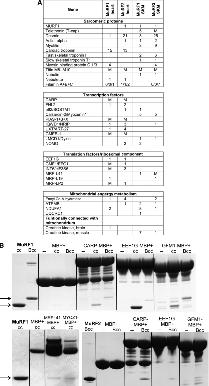 MuRF1 and MuRF2 interact with a shared set of myocellular proteins. (A) YTH screens with full-length MuRF1 and MuRF2 baits of both human cardiac ('heart') and skeletal cDNA libraries ('SKM') fished a total of 87 genes. The table summarizes those 35 prey clones identified independently in both MuRF1 and MuRF2 screens and thus predicted to interact with both MuRF1+2: 13 prey clone inserts code for sarcomeric proteins (4 of which are components of the Z-disk), 10 code for transcriptional regulators (2 of which are also associated with the Z-disk), 5 genes are involved in mitochondrial ATP production, and 6 genes participate in translation initiation and elongation. Numbers indicate independently identified prey clones in respective screens. M=interaction was found by mating. An SRF prey clone fished with the MuRF1 bait could not be confirmed by mating, as in our hands the 3′ UTR and not the coding sequence of SRF activated yeast growth during mating with MuRF1 and 2. (B) The interaction of selected proteins derived from the above-mentioned genes was studied in vitro by pull-downs using expressed MuRF1/MuRF2 Bcc (B-Box+coiled-coil domain) and MuRF1cc (coiled-coil domain) constructs (see also Supplementary Figure S1 and methods). MuRF1cc and MuRF1Bcc (arrows) co-eluted together with CARP, EEF1G, GFM1 MBP fusion proteins. Below: left—MuRF1cc co-eluted with myozenin-1/calsarcin-2, and MRP-L41/Pig3 MBP-fusion proteins; right—MuRF2Bcc co-eluted together with CARP, EEFG1, GFM1 MBP fusion proteins; controls—MBP plus MuRF1cc, Bcc, MuRF2Bcc, respectively, or fusion proteins only.