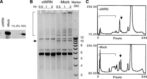 Depletion of xWRN reduces SSA. (A) Western blot of the depleted NPE. The three lanes on the right are quantitation controls and contain normal NPE at 1%, 2%, and 10% of the amount loaded in the lanes containing the depleted NPE. (B) SSA assay with xWRN-depleted and mock-depleted NPE. pRW4′ was incubated in NPE for the indicated times, treated with SDS/proteinase K, and separated by agarose gel electrophoresis. The SSA products include the band indicated by the arrow and a subset of the bands indicated by the bracket. (C) Staining intensity plot of the lanes containing the 2-h repair products in (B).